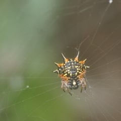 Austracantha minax (Christmas Spider, Jewel Spider, Spiny Spider) at Seven Mile Beach National Park - 9 Dec 2018 by gerringongTB