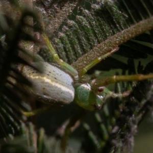 Lehtinelagia sp. (genus) at Red Hill Nature Reserve - 1 Sep 2019