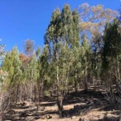 Callitris endlicheri (Black cypress pine) at Oakey Hill - 31 Aug 2019 by RWPurdie