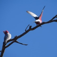 Eolophus roseicapillus (Galah) at O'Malley, ACT - 1 Sep 2019 by Mike