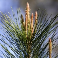 Pinus radiata (Radiata Pine, Monterey Pine) at The Pinnacle - 29 Aug 2019 by AlisonMilton