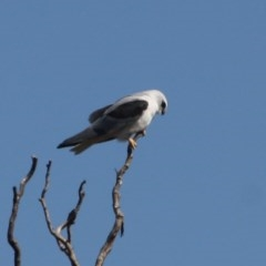 Elanus axillaris (Black-shouldered Kite) at Jerrabomberra Wetlands - 1 Sep 2019 by LisaH