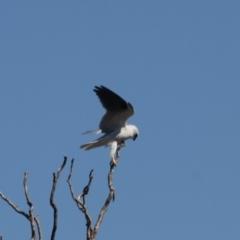 Elanus axillaris at Jerrabomberra Wetlands - 1 Sep 2019