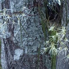 Dendrobium teretifolium (Rat's Tail Orchid, Bridal Veil orchid) at Batemans Marine Park - 19 Aug 2019 by HelenR