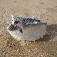 Unidentified Puffer-like fish (TBC) at Batemans Marine Park - 26 Jul 2019 by HelenR