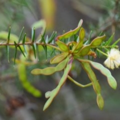 Acacia ulicifolia (Prickly Moses) at South Pacific Heathland Reserve - 1 Sep 2019 by NicholasdeJong