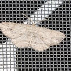 Ectropis excursaria (Common Bark Moth) at Higgins, ACT - 14 Apr 2019 by AlisonMilton