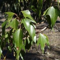 Brachychiton populneus subsp. populneus (Kurrajong) at Symonston, ACT - 2 Sep 2019 by Mike