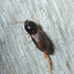 Austrocardiophorus sp. (genus) (Click beetle) at Jerrabomberra, NSW - 1 Sep 2019 by Harrisi