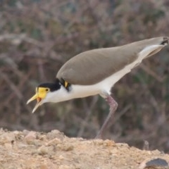 Vanellus miles (Masked Lapwing) at Molonglo, ACT - 1 Sep 2019 by michaelb