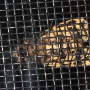 Spilosoma curvata at Rosedale, NSW - 29 Aug 2019