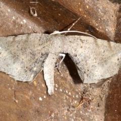 Parepisparis excusata (Parepisparis excusata) at Rosedale, NSW - 28 Aug 2019 by jbromilow50