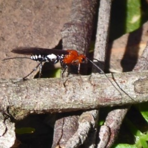 Braconidae sp. (family) at Tallaganda State Forest - 3 Sep 2019