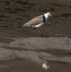 Vanellus miles (Masked Lapwing) at Runnyford, NSW - 28 Aug 2019 by jbromilow50