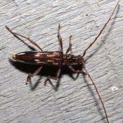Coptocercus rubripes (Longhorn beetle) at Rosedale, NSW - 28 Aug 2019 by jbromilow50