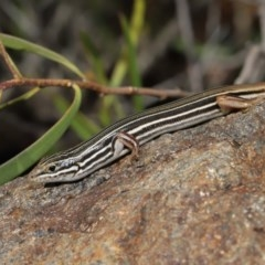 Ctenotus taeniolatus (Copper-tailed Skink) at ANBG - 3 Sep 2019 by Tim L