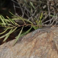 Ctenotus taeniolatus at Acton, ACT - 3 Sep 2019
