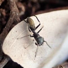 Myrmarachne luctuosa (Polyrachis Ant Mimic Spider) at Mount Painter - 30 Aug 2019 by CathB