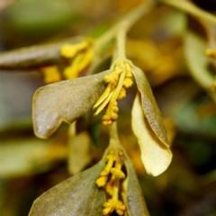 Notothixos subaureus (Golden Mistletoe) at Morton National Park - 30 Aug 2019 by Boobook38