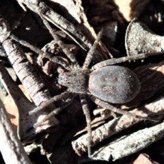 Mituliodon tarantulinus (Prowling spider) at Aranda Bushland - 2 Sep 2019 by CathB