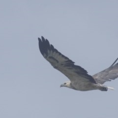 Haliaeetus leucogaster (White-bellied Sea-eagle) at Seven Mile Beach National Park - 21 Mar 2018 by gerringongTB