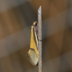 Philobota undescribed species near arabella at ANBG - 3 Sep 2019