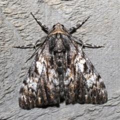 Rhuma sp. (Rhuma sp.) at Rosedale, NSW - 30 Aug 2019 by jbromilow50