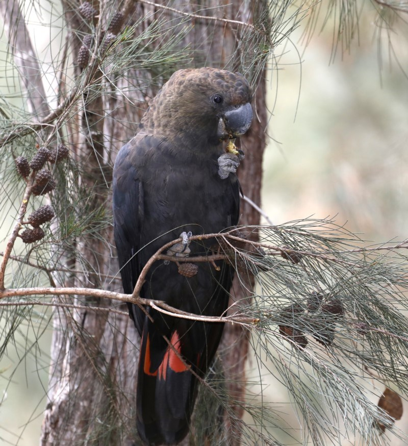 Calyptorhynchus lathami at Mogo State Forest - 30 Aug 2019