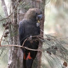 Calyptorhynchus lathami (Glossy Black-cockatoo) at Mogo State Forest - 30 Aug 2019 by jbromilow50