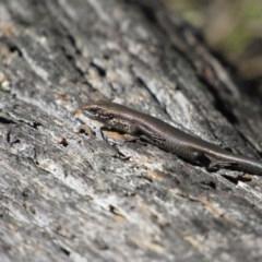 Pseudemoia entrecasteauxii (Woodland Tussock-skink) at Namadgi National Park - 4 Sep 2019 by KShort