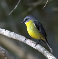 Eopsaltria australis (Eastern Yellow Robin) at Mogo State Forest - 30 Aug 2019 by jbromilow50