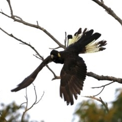 Calyptorhynchus funereus (Yellow-tailed Black-cockatoo) at Guerilla Bay, NSW - 30 Aug 2019 by jbromilow50