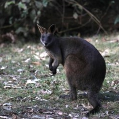 Wallabia bicolor (Swamp Wallaby) at Mogo State Forest - 30 Aug 2019 by jbromilow50