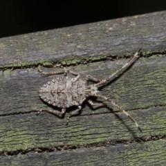 Alcaeus varicornis (Acacia stink bug) at ANBG - 3 Sep 2019 by TimL