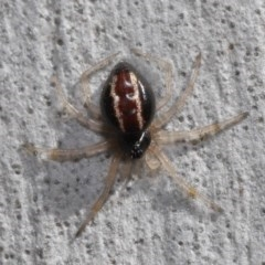 Euryopis umbilicata (Striped tick spider) at ANBG - 3 Sep 2019 by TimL