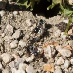 Iridomyrmex sp. (genus) (Ant) at Illilanga & Baroona - 2 Nov 2018 by Illilanga
