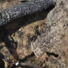 Monomorium sp. (genus) (A Monomorium ant) at Michelago, NSW - 2 Nov 2018 by Illilanga