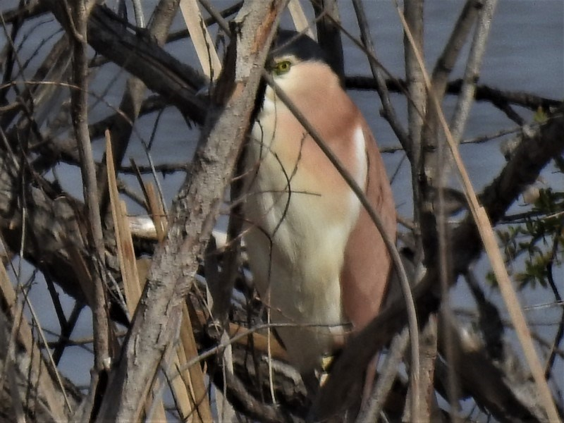 Nycticorax caledonicus at Jerrabomberra Wetlands - 5 Sep 2019
