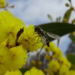 Melangyna viridiceps (Hover fly) at Sth Tablelands Ecosystem Park - 5 Sep 2019 by galah681