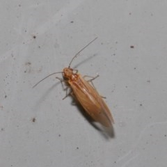 Psocodea 'Psocoptera' sp. (order) (Unidentified plant louse) at ANBG - 3 Sep 2019 by TimL