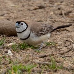 Taeniopygia bichenovii (Double-barred Finch) at Campbell, ACT - 6 Sep 2019 by rawshorty