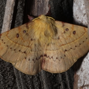 Anthela acuta at Rosedale, NSW - 31 Aug 2019