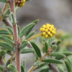 Acacia siculiformis (Dagger Wattle) at Wanniassa Hill - 6 Sep 2019 by KumikoCallaway