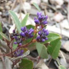 Hardenbergia violacea (False Sarsaparilla) at Wanniassa Hill - 6 Sep 2019 by KumikoCallaway