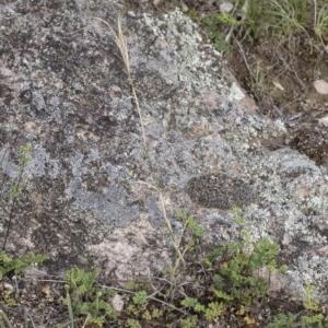 Elymus scaber at Illilanga & Baroona - 22 Dec 2018