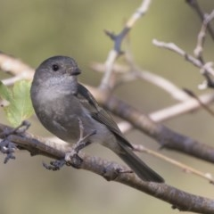 Pachycephala pectoralis (Golden Whistler) at Higgins, ACT - 27 Apr 2019 by Alison Milton