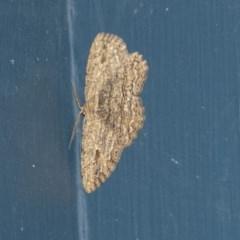 Ectropis excursaria (Common Bark Moth) at Higgins, ACT - 15 May 2019 by AlisonMilton