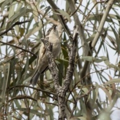 Melithreptus brevirostris (Brown-headed Honeyeater) at ANBG - 20 May 2019 by Alison Milton