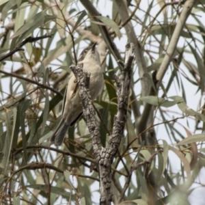 Melithreptus brevirostris at ANBG - 20 May 2019