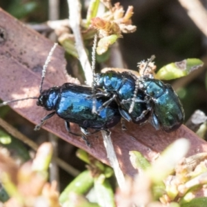 Altica sp. (genus) at Acton, ACT - 20 May 2019